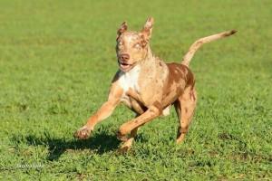 Scorpion, catahoula leopard dog, compagno di vita di Mia, in preparazione Obedience debuttanti