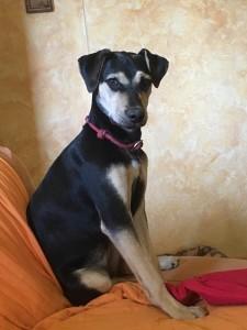 Petri, catahoula leopard dog, compagna di vita di Andrea, in preparazione per Obedience debuttanti
